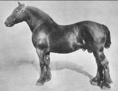 Ardenner, imp. Brun med stjärn. Mankhöjd 153 cm. Fader Favori. Moder Petite. Ägare godsägare W. Ullman Saltkällan, Munkedal, Bohuslän. Född 1895. Prem A.