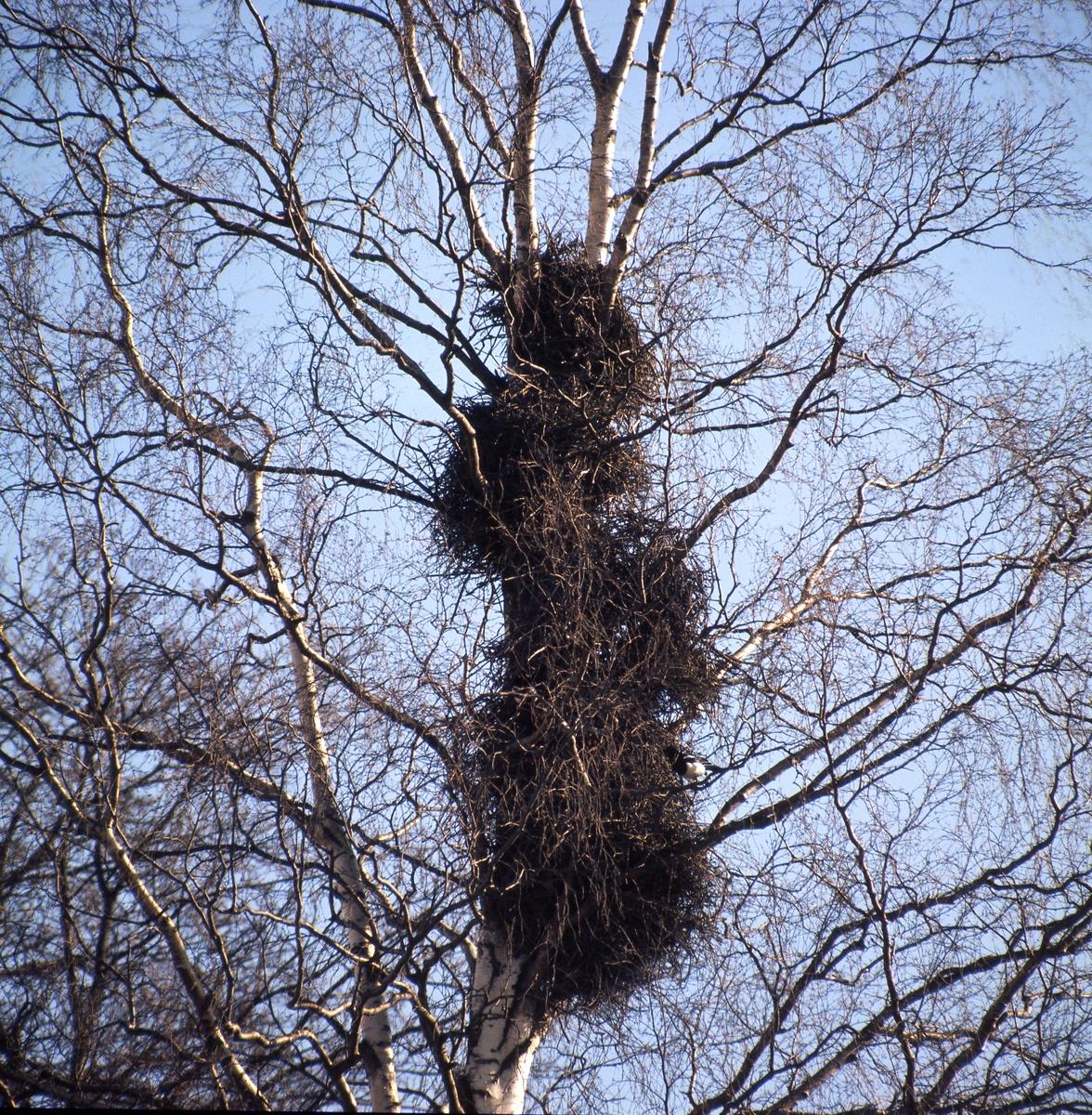Flera skatbon av kvistar i en björk. De är byggda ovanför varandra som ett höghus.