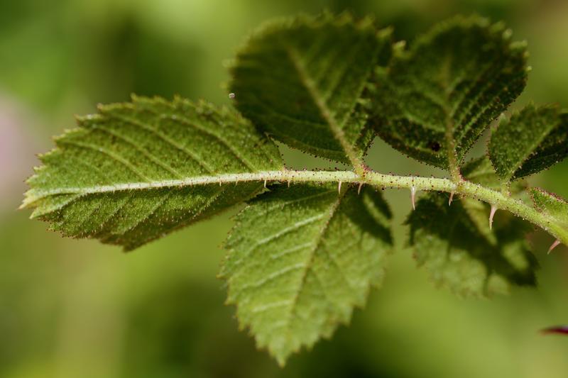 Undersiden av en kvist med seks roseblader. Nervene i bladene synes tydelig. (Foto/Photo)