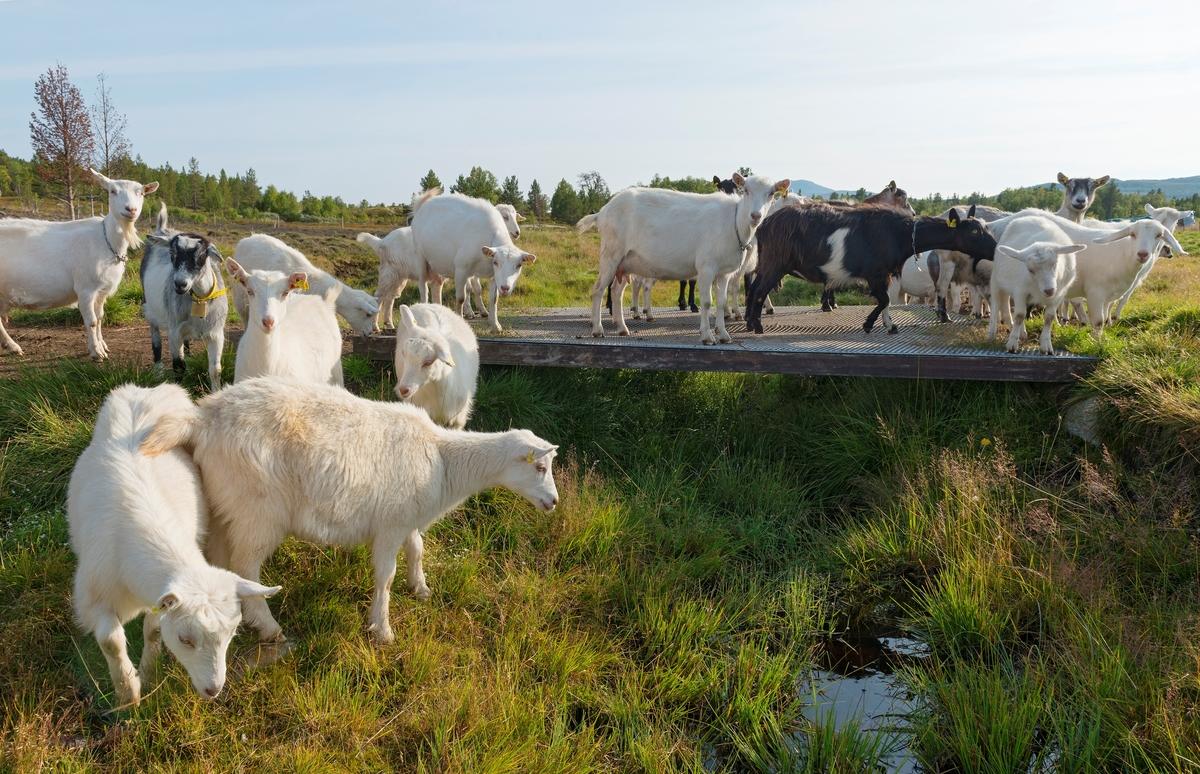 Geiter. Geit. Geitehold. Husdyr. Fra Tørresvangen, Tynset, Hedmark. Husdyrbruk i Nord-Østerdalen. Landbruk.