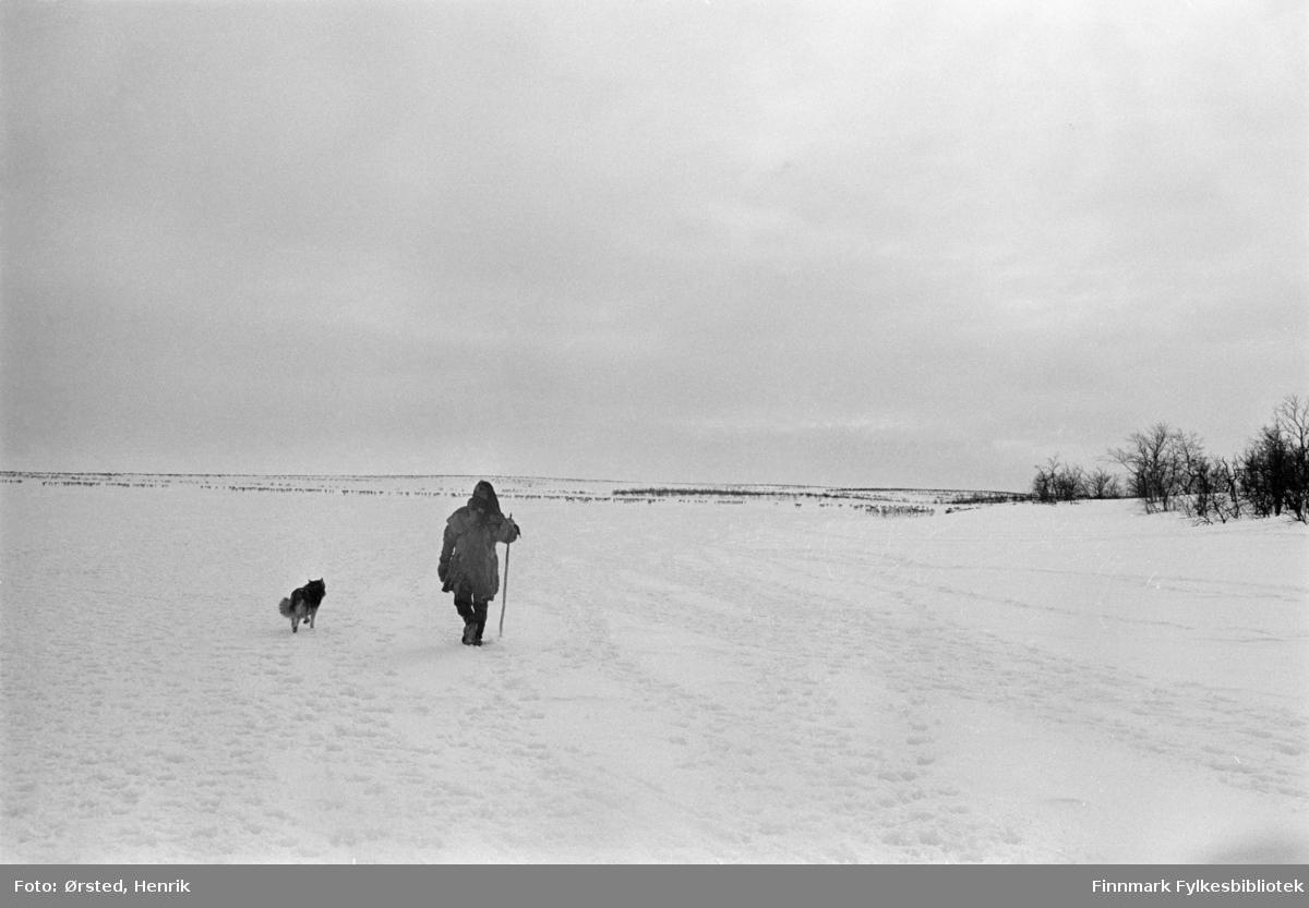 Reindriftssame i pesk med hund og vandrestav, fotografert på vandring til fots ute på Finnmarksvidda.   Fotograf Henrik Ørsteds bilder er tatt langs den 30 mil lange postruta som strakk seg fra Mieronjavre poståpneri til Náhpolsáiva, videre til Bavtajohka, innover til øvre Anárjohka nasjonalpark som grenser til Finland – og ruta dekket nærmere 30 reindriftsenheter. Ørsted fulgte «Post-Mathis», Mathis Mathisen Buljo som dekket et imponerende område med omtrent 30.000 dyr og reingjetere som stadig var ute i terrenget og i forflytning. Dette var landets lengste postrute og postlevering under krevende vær- og føreforhold var beregnet til 2 dager. Bildene gir et unikt innblikk i samisk reindriftskultur på 1970-tallet. Fotograf Henrik Ørsted har donert ca. 1800 negativer og lysbilder til Finnmark Fylkesbibliotek i 2010.