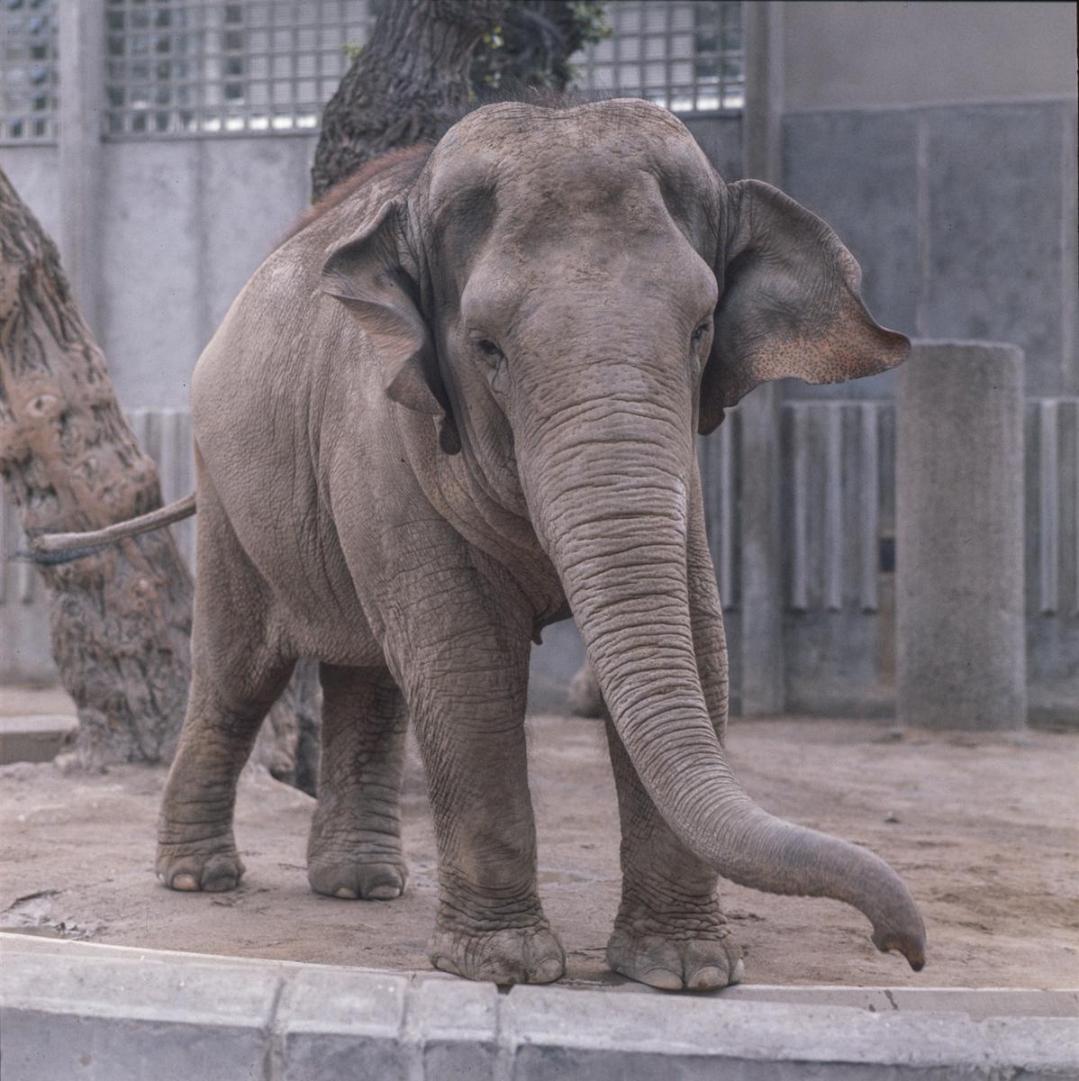 Den Asiatiska elefanten Fatima vid elefanthuset på Skansen.