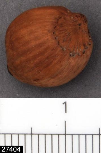 Anmärkningar: Badelunda sn, Tuna undersökt 1952-1953 Nöt, från båtgrav daterad till yngre järnålder, ca 850 e.Kr. (Vikingatid).  Hasselnöt från grav 75. 1 st välbevarad, låg på båren.  (Ska enligt rapporten vara 4 st till grav 75, vid genomgång av access-projektet 2007 visade det sig att det finns fyra registrerade poster med sammanlagt 5 st hasselnötter, troligen är denna recent och kommer från någon utställning)  Litteratur Nylén, E. & Schönbäck, B. 1994. Tuna i Badelunda. Guld kvinnor båtar I. Västerås kulturnämnds skriftserie 27. Västerås. s 44ff. Nylén, E. & Schönbäck, B. 1994. Tuna i Badelunda. Guld kvinnor båtar II. Västerås kulturnämnds skriftserie 30. Västerås. s 112 ff, 150ff, 200.