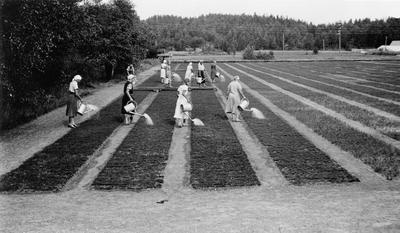 Damer som vanner ved skogplanteskolen på Rore.