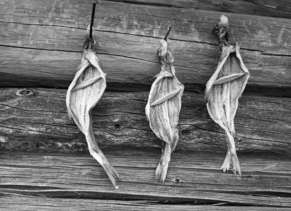 Tørking av harr på naustvegg på innlandsfiskeværet Fiskevollen ved Sølensjøen i Øvre Rendalen sommeren 1977.  Fotografiet viser hvordan fiskerne har spikret maget og reingjort fisk med hodene opp og spolene ned på en av veggstokkene.  Tverrspilte pinner i fiskenes mageregion skulle sikre god lufting, og dermed også god tørk.  Tørking var en måte å konservere fisk på, slik at den kunne tas fram igjen og nytes lenge etter at den var fanget.  God tørking forutsatte et værlag som var preget av mye sol og vind, og helst en sesong da insektbestandene var små.  Dette var en årsak til at teknikken helst ble brukt på vårgytende fiskearter.  Denne konserveringsteknikken fortrinnsvis brukt på magre fiskeslag, langs innlandsvassdragene mest på gjedde, abbor og mort.  De feite laksefiskene hadde lett for å harskne ved tørking.  Harr (Thymallus thymallus) er en laksefisk.  I Rendalen har imidlertid denne fiskearten tradisjonelt vært holdt for å være en dårligere matfisk enn ørret, røye og sik.  Den harren vi ser her ble derfor konservert med sikte på at den skulle brukes som hundemat, og da var ikke harskhet like problematisk som når fisken skulle serveres til mennesker.