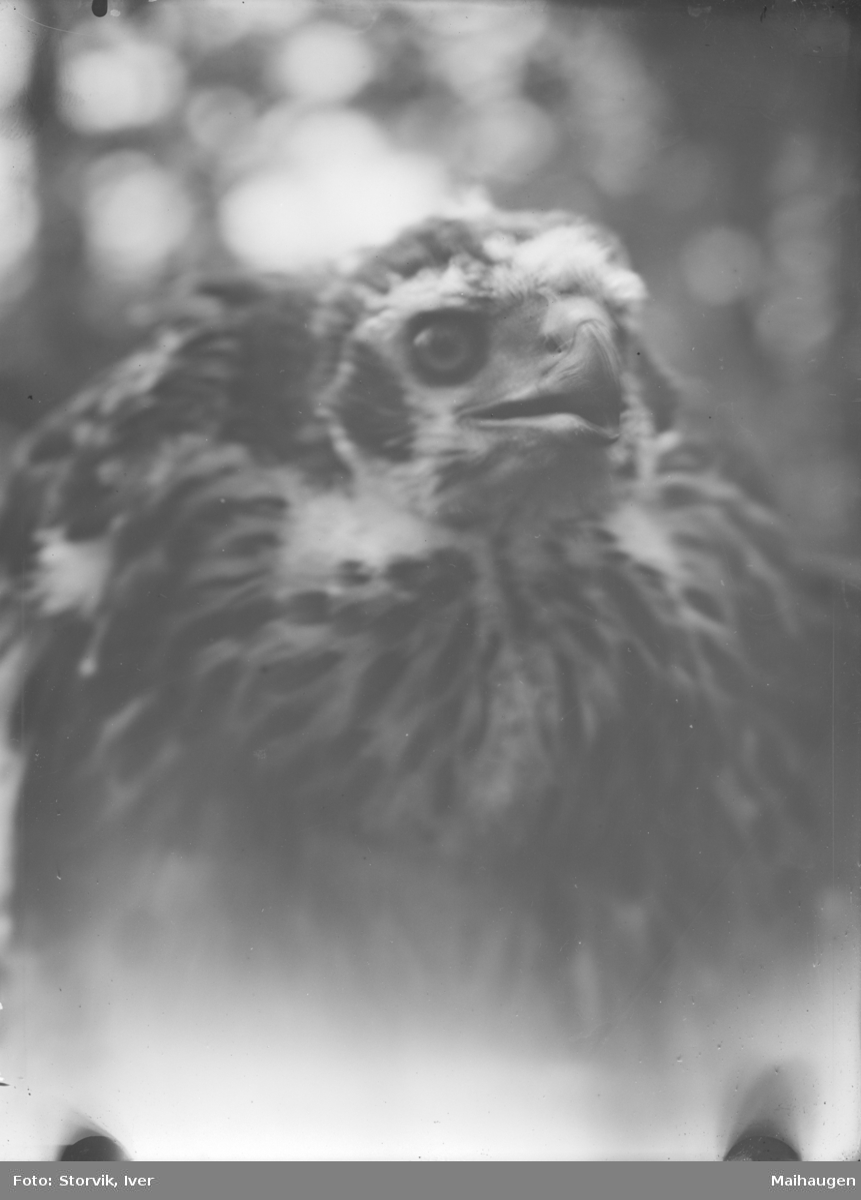 Nærbilde av ørn. Mulig fra Trollvikkampen i Vågå