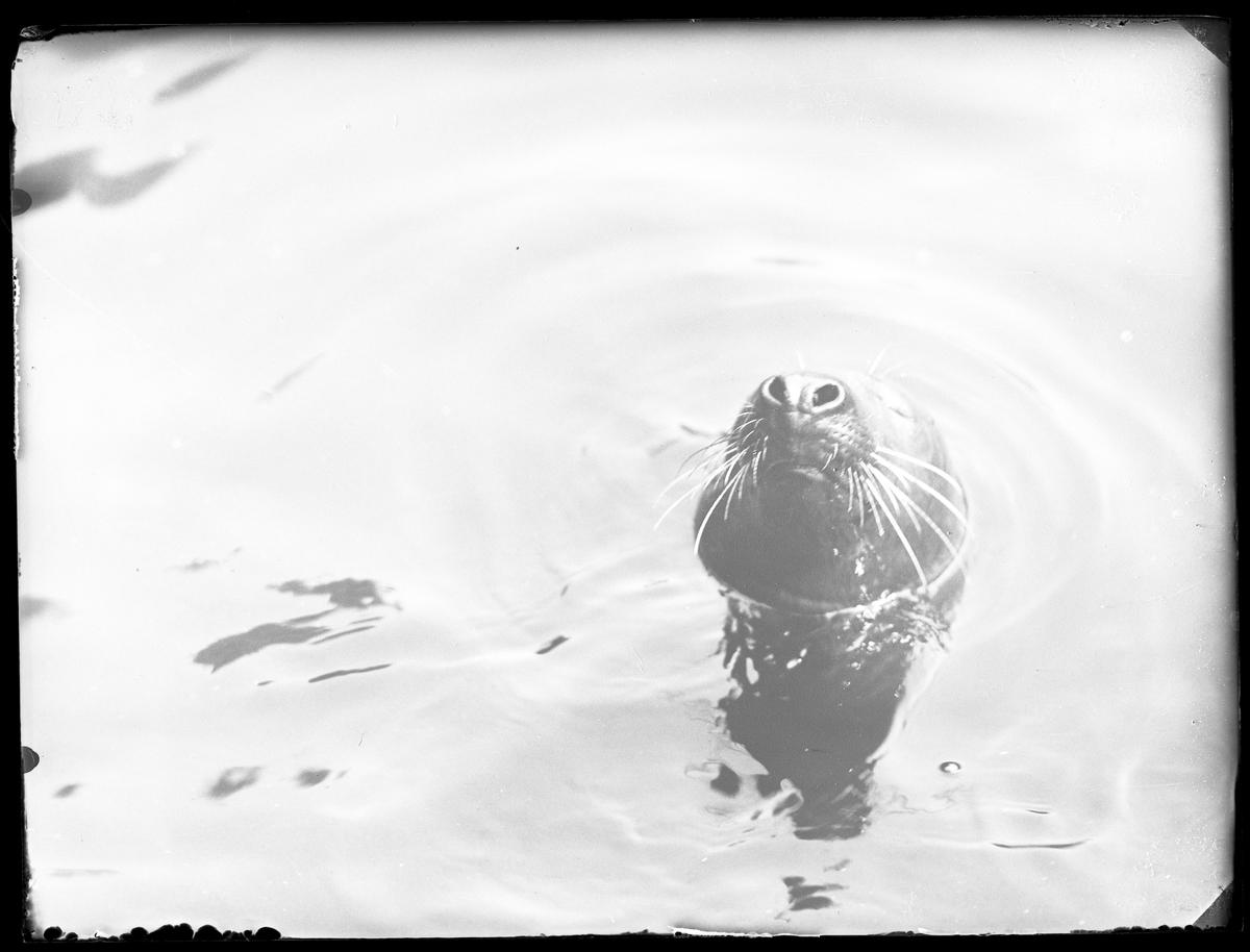 En gråsäl tittar upp från vattnet i Säldammen i Slottskogen. D