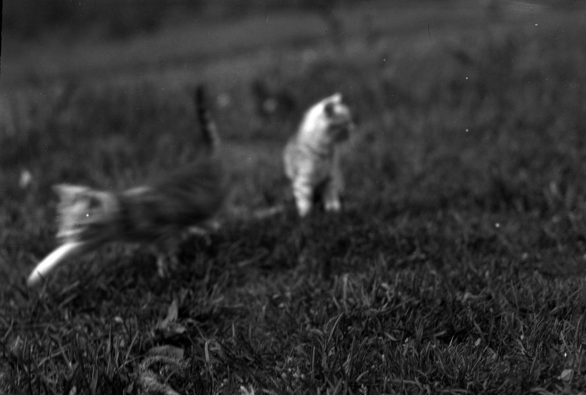 Två kattungar leker på en gräsmatta. Bilden är tagen i samband med familjen Skoglunds picknick. Se bild (AM HO 00722-726).