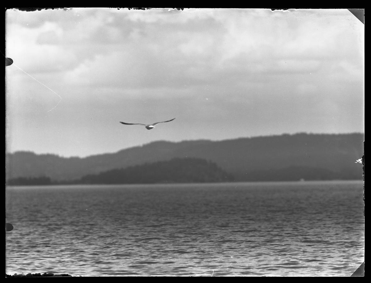 En mås flyger ut över en sjö.