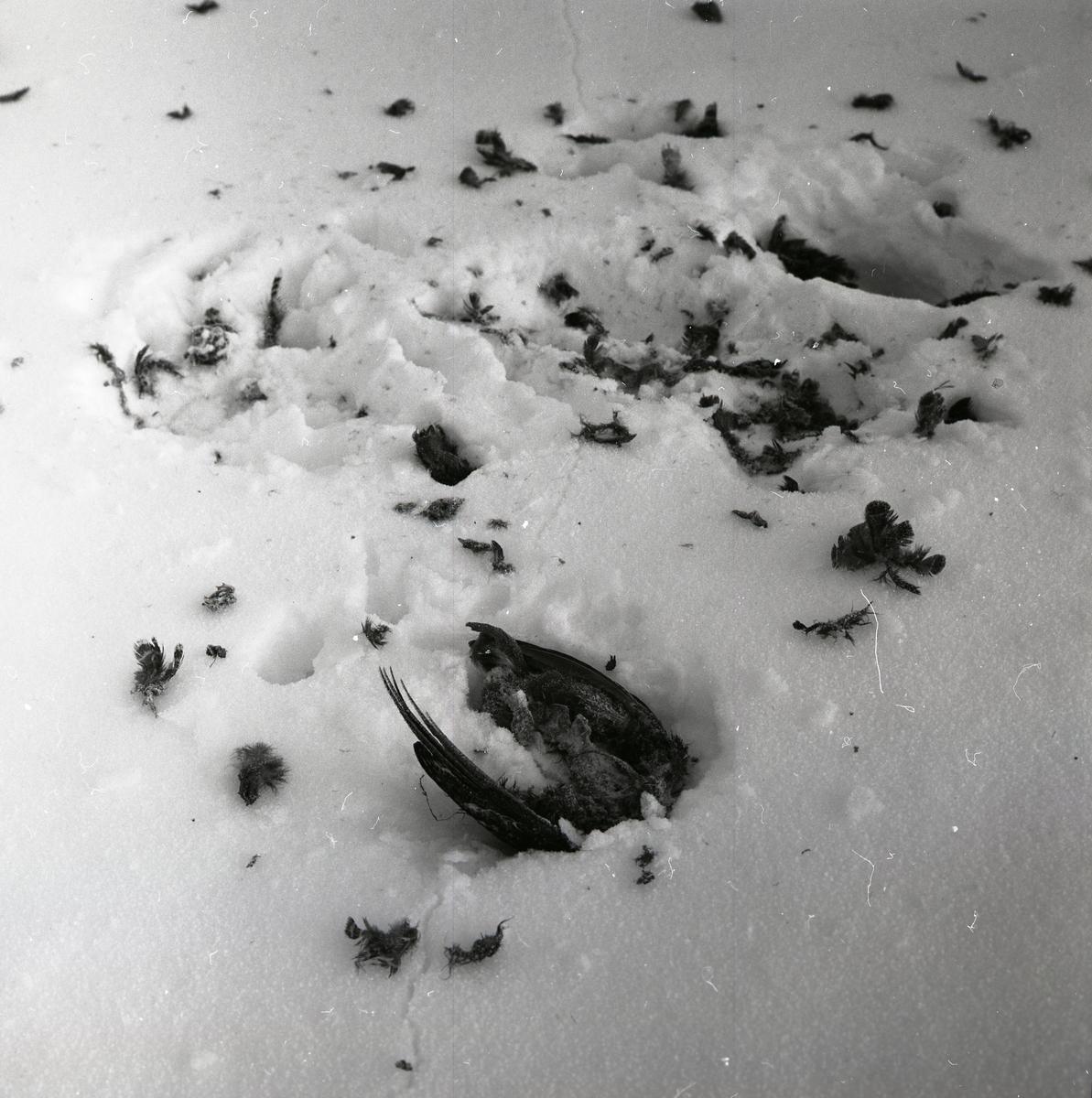 Resterna av en nötskrika som blivit tagen av en hök, vintern 1967.