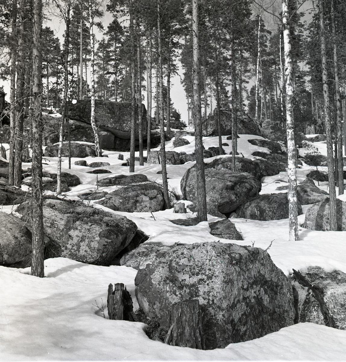 Stenar och tallar på en kulle, delvis täckta av borttinande snö vid Hagberget, april 1951.
