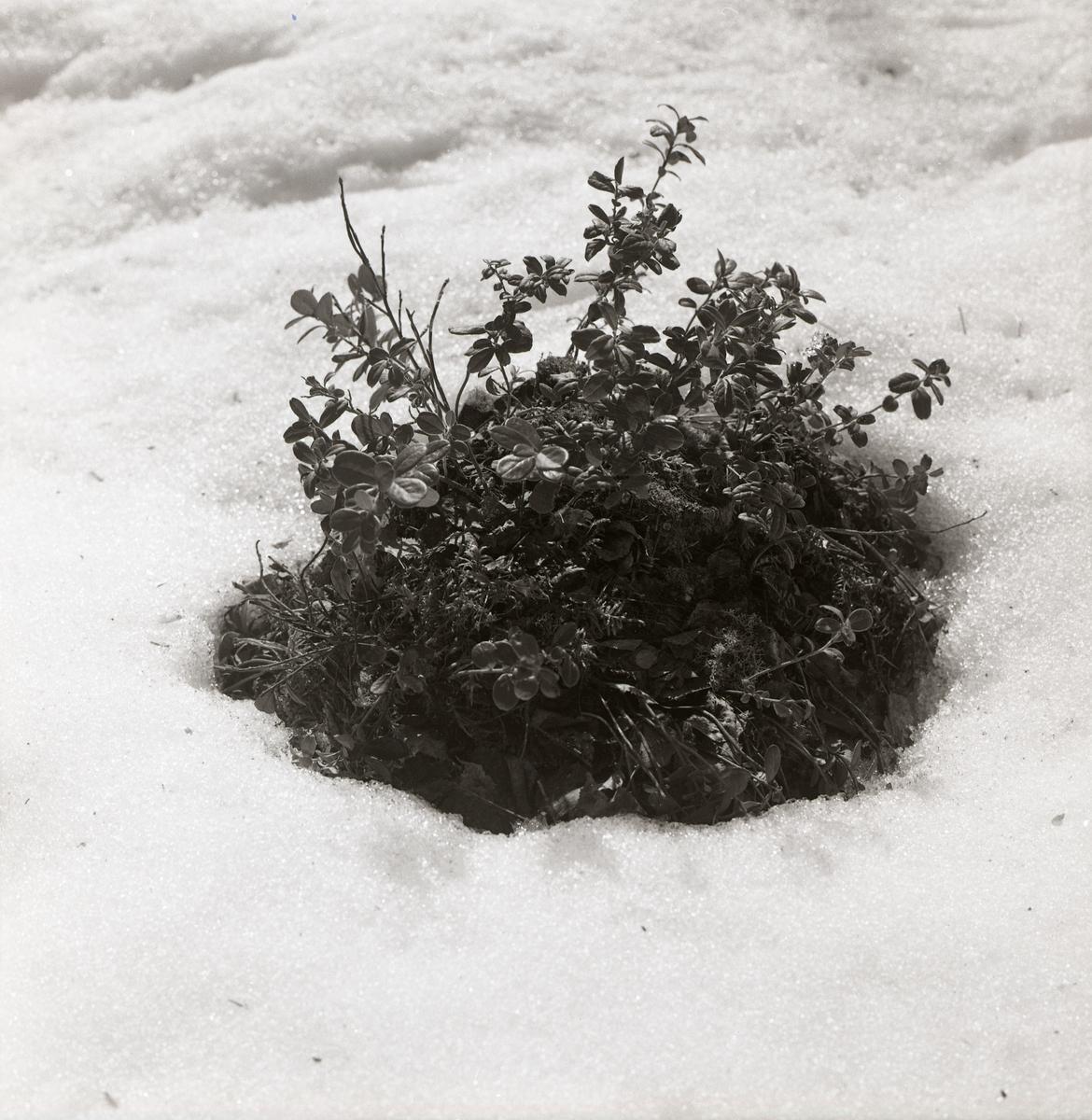En tuva med lingonris sticker upp ur snön, vårvintern 1969.