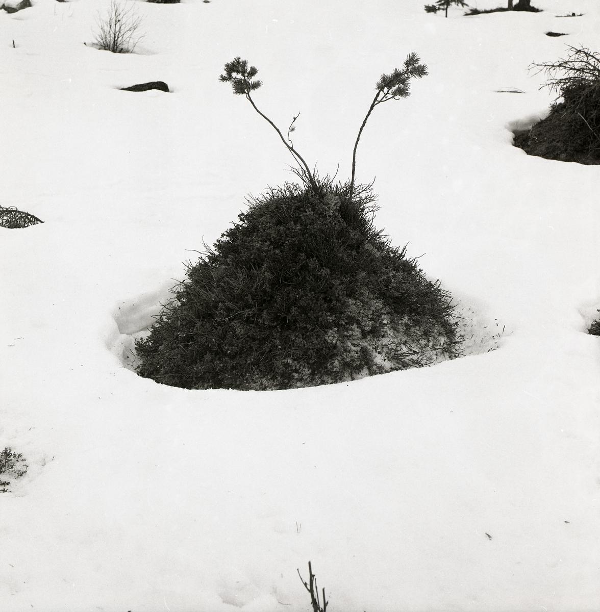 En tuva med två blomväxter på toppen i snön vid Stråsjön, 19 april 1978.