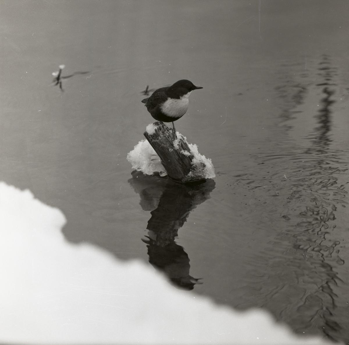 En strömstare sitter på en påle i Hölesjöån, 1961.
