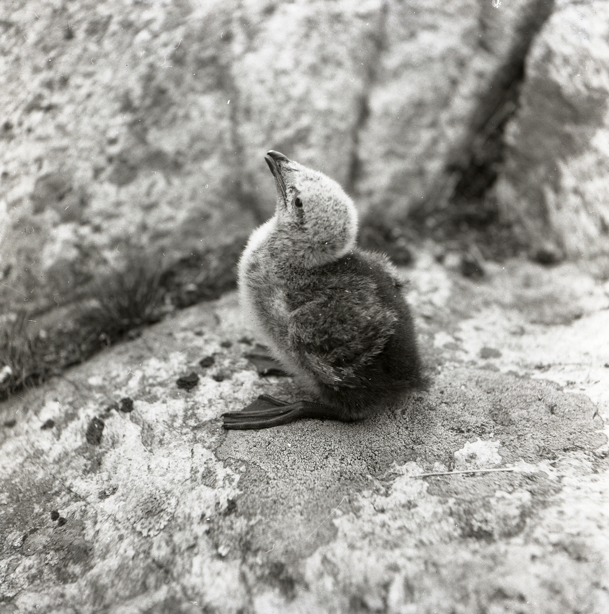 En fågelunge sitter på en sten.