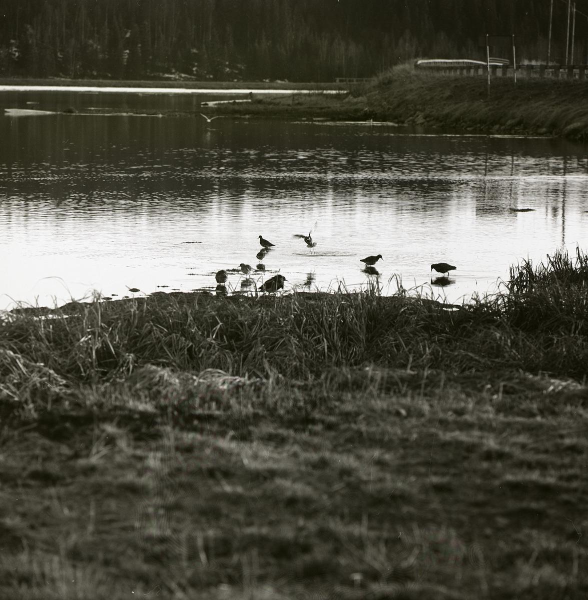 Många brushanar i en sjö vid Laxsjö, 21 maj 1969.