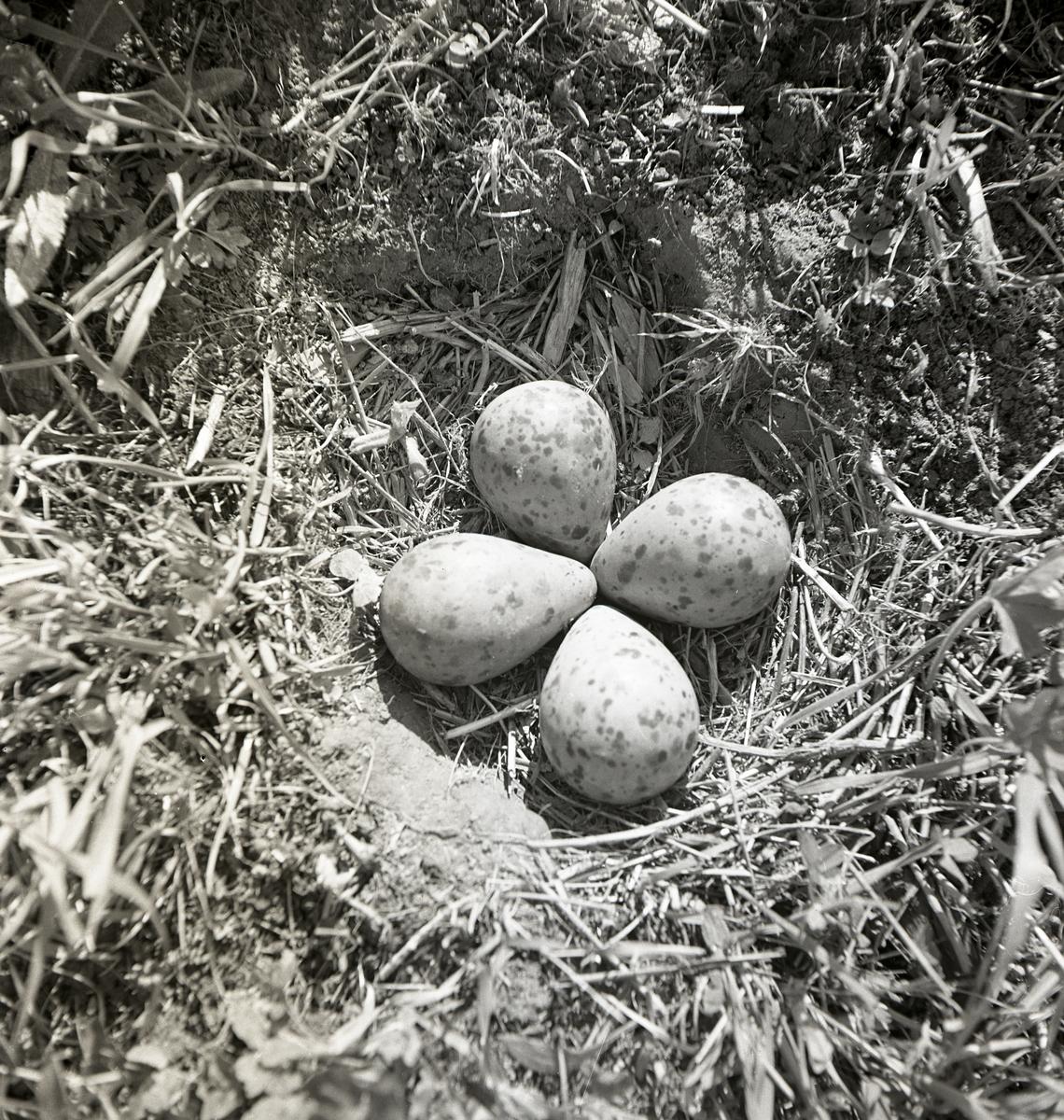 Ett fågelbo med fyra storspovägg, 1-31 maj 1951.
