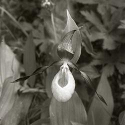En blomma av arten Guckusko f61e4f9c0b8c6