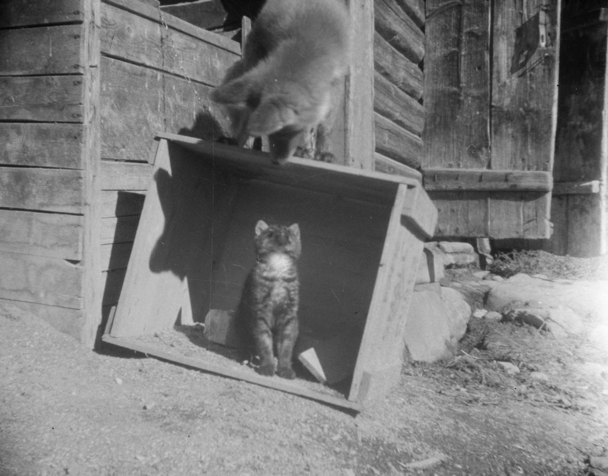 Tam rev og katt