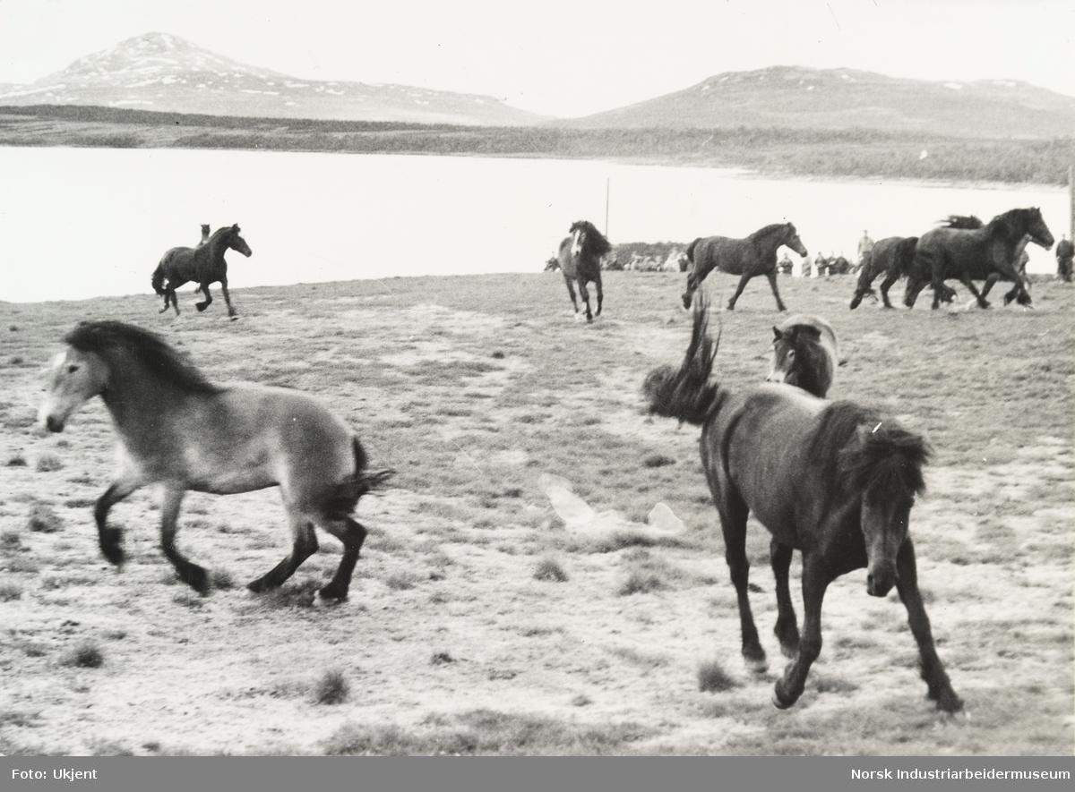 Hester på beite på Sundet, Møsstrond. I bakgrunn fjell og innsjøen Møsvatn