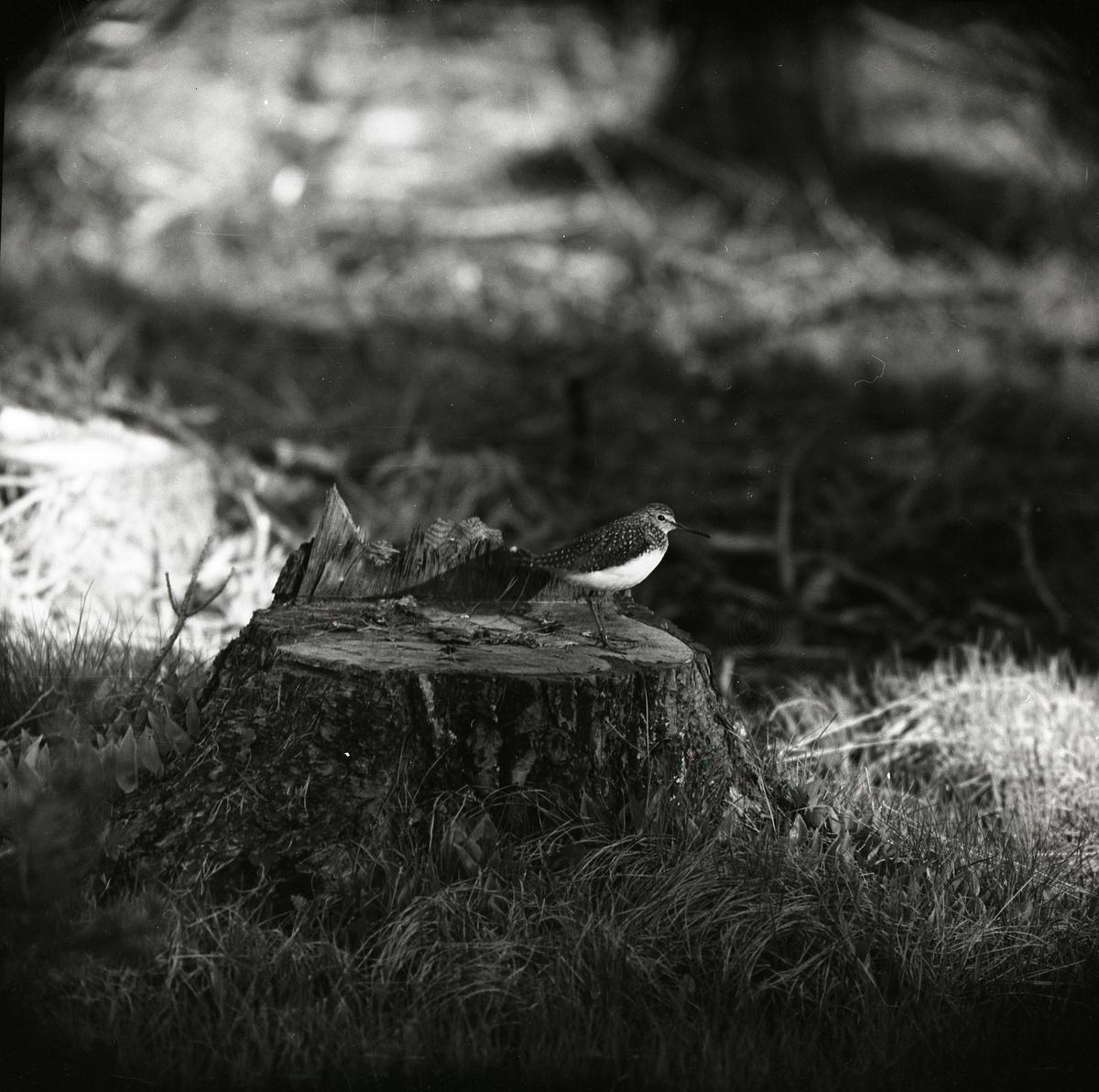 En grönbena sitter på en trädstubbe i Sanbacken, 24 maj 1959.