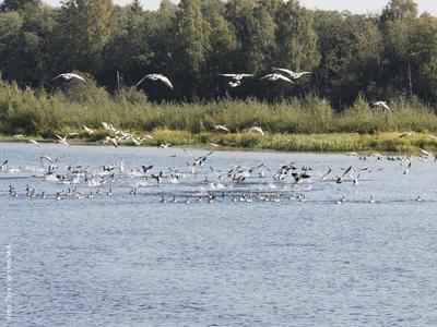 Foto av en flokk med grågjess. Foto/Photo