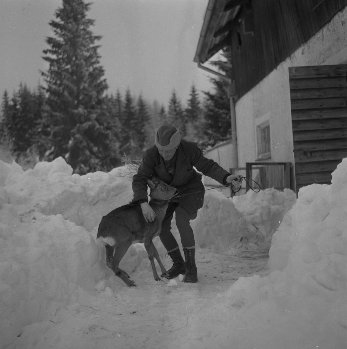 Rådjur i Ramshyttan.  13 februari 1959.