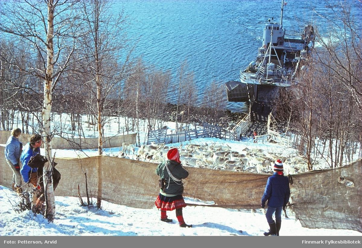 Vårlytting og utskiping av rein i Aslakheimen, i Kvenvik i Alta. Bildet er tatt 30.4.1981.