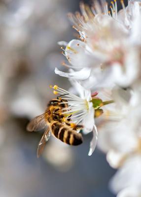 Nærbilde av en bie som finner pollen i en hvit blomst.