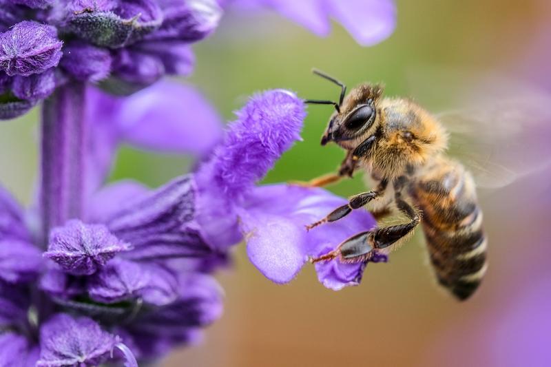 Bie og en lavendel