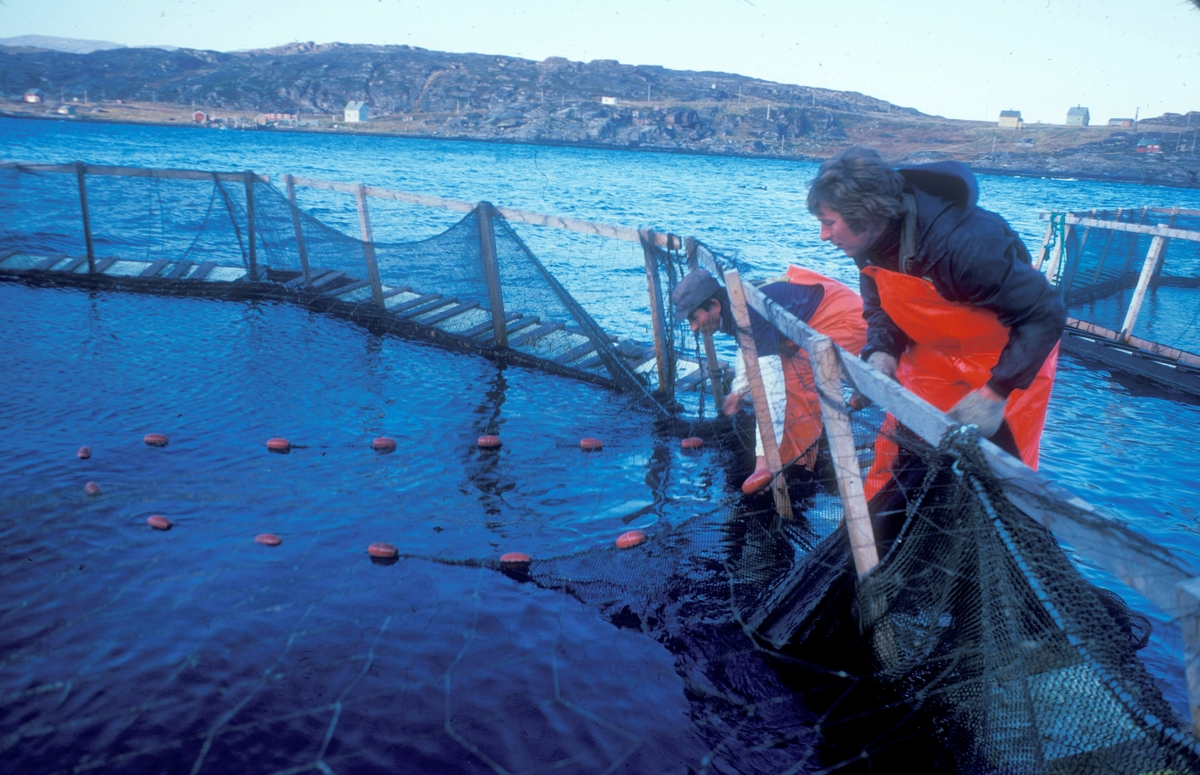 To menn bruker ei orkastnot til å fange oppdrettsfisk i ei merde. Mennene er godt kledd i kjeledresser og oljebukser.