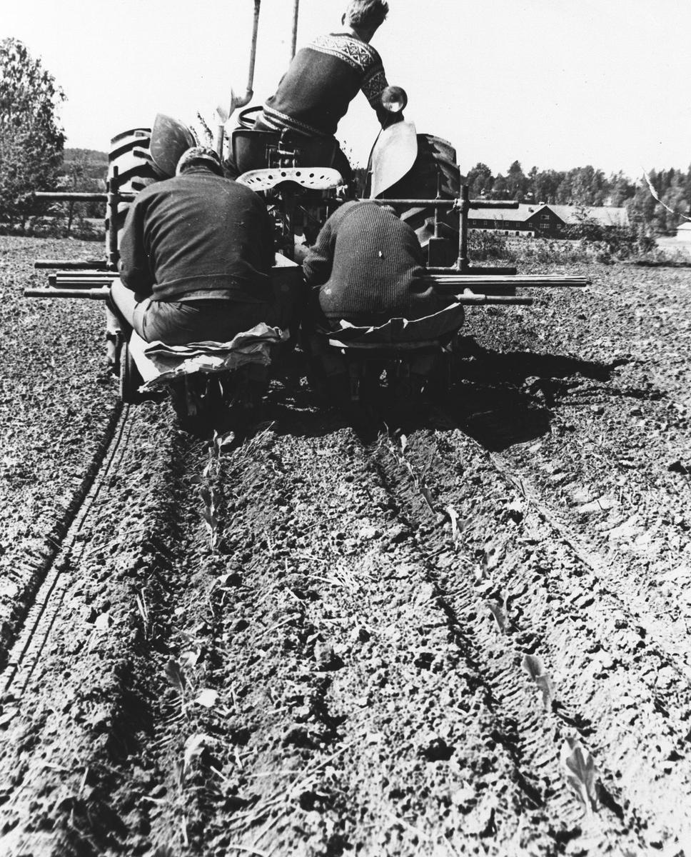 Kålplanting fra traktor på Hvam landbrukskole på Årnes.