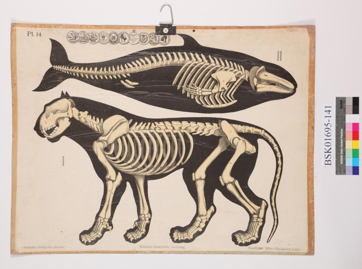 Skjelett av hval og tiger