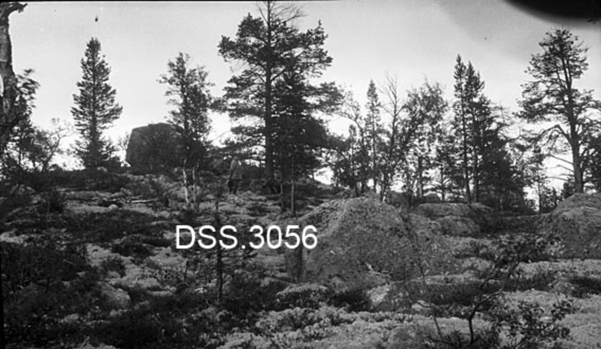Fjellskog med spredte furu- og bjørketrær på undergrunn med mose, lyng og store steinblokker.  En mann betrakter landskapet.  Bildet er tatt fordi fotografen ville dokumentere reinbeitingsskader på den litt forkrøplete furuskogen. Bildet er fra Femundsmarka.