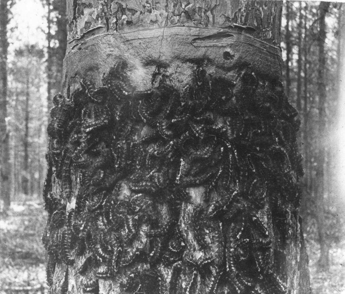Repro. Stamme angrepet av furuspinnerlarver.