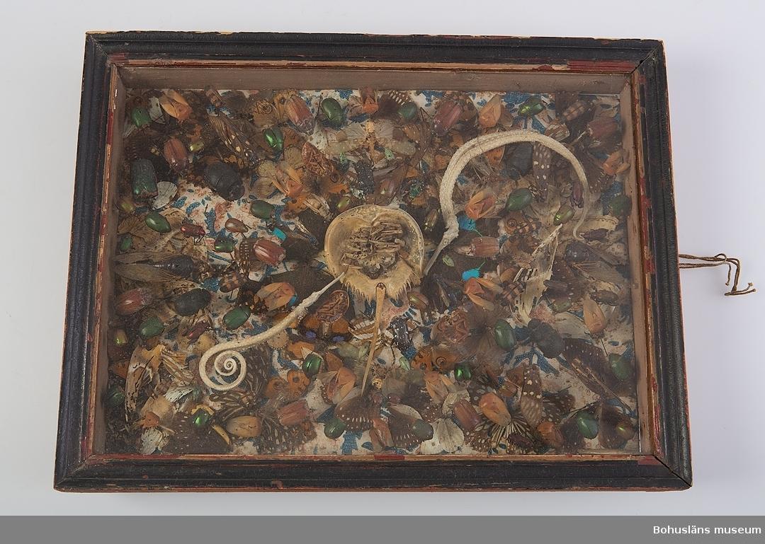 Glasad trälåda med ett kollage av utomeuropeiska insekter och fjärilar. Handtryckt papper lagt eller klistrat i botten av montaget.