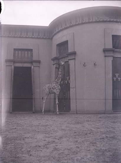 """Enligt text som medföljde bilden: """"Belgien. Giraff i zoologiska trädgården""""."""