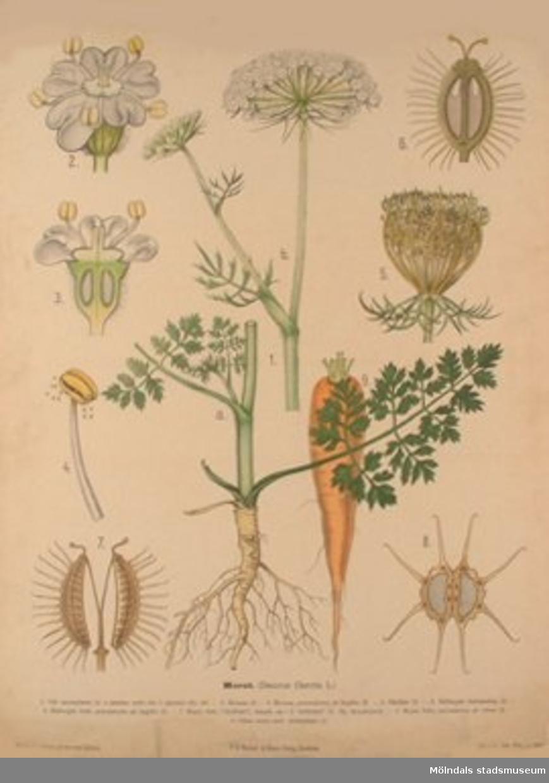 Biologi.Morot.Måladt av Henrietta Sjöberg.J. Eriksson. Botaniska väggtavlor. 2:a upplagan.Lit. o. tr. i Gen. stab. lit. anst.