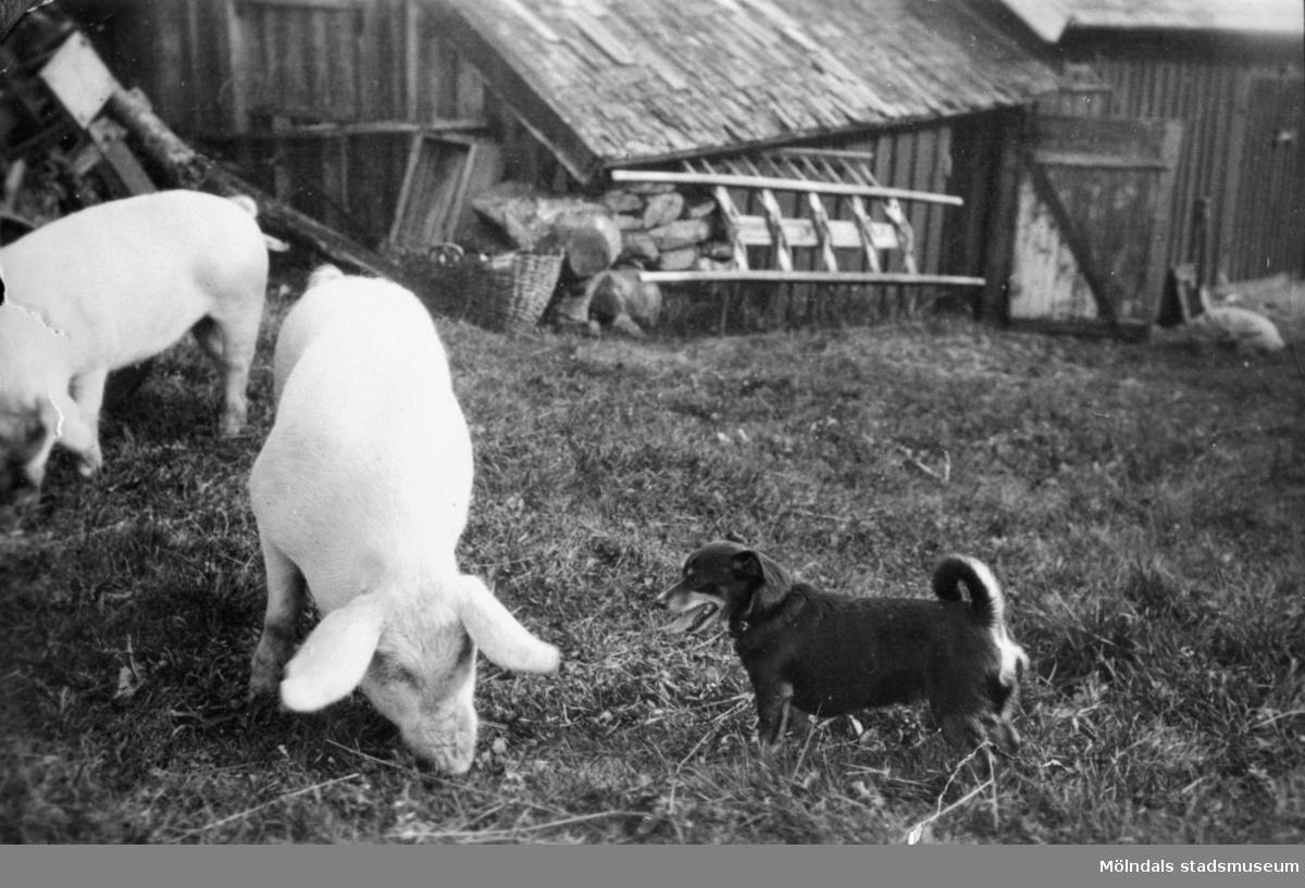 Hunden Tell och grisarna, den 6 september 1930. Här syns en del av gamla ladugården, innan det byggdes nytt.  Långö 1:1 mangårdsbyggnad, Långö är en halvö på 36000 kvm som ligger i Nordsjön , ett litet hemman som inte gick att leva på för två familjer, så binäringen var snickeri och mureriarbeten.