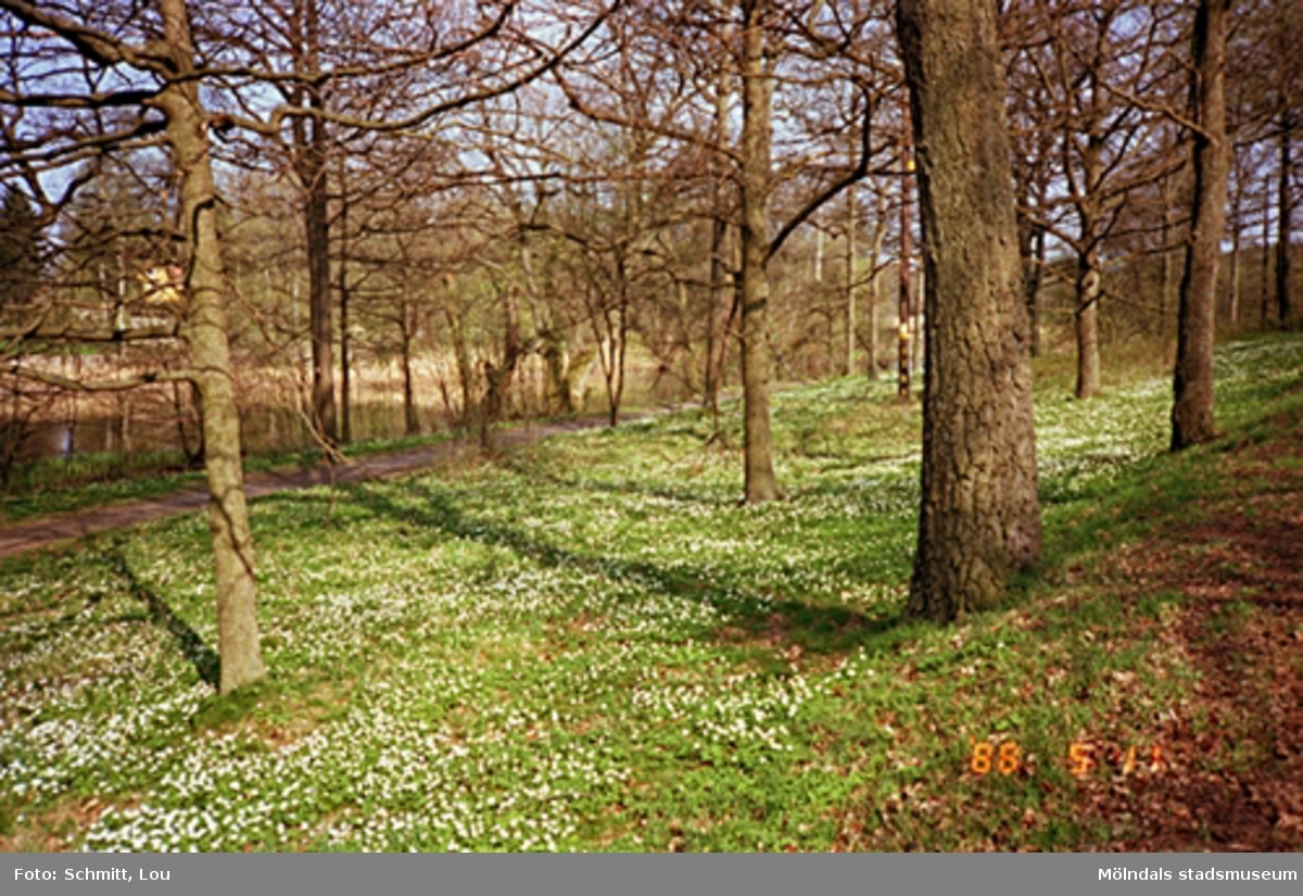 Vild flora som växer på Gunnebo slotts marker. Här ser man vitsippor som blommar mellan stenar och träd.