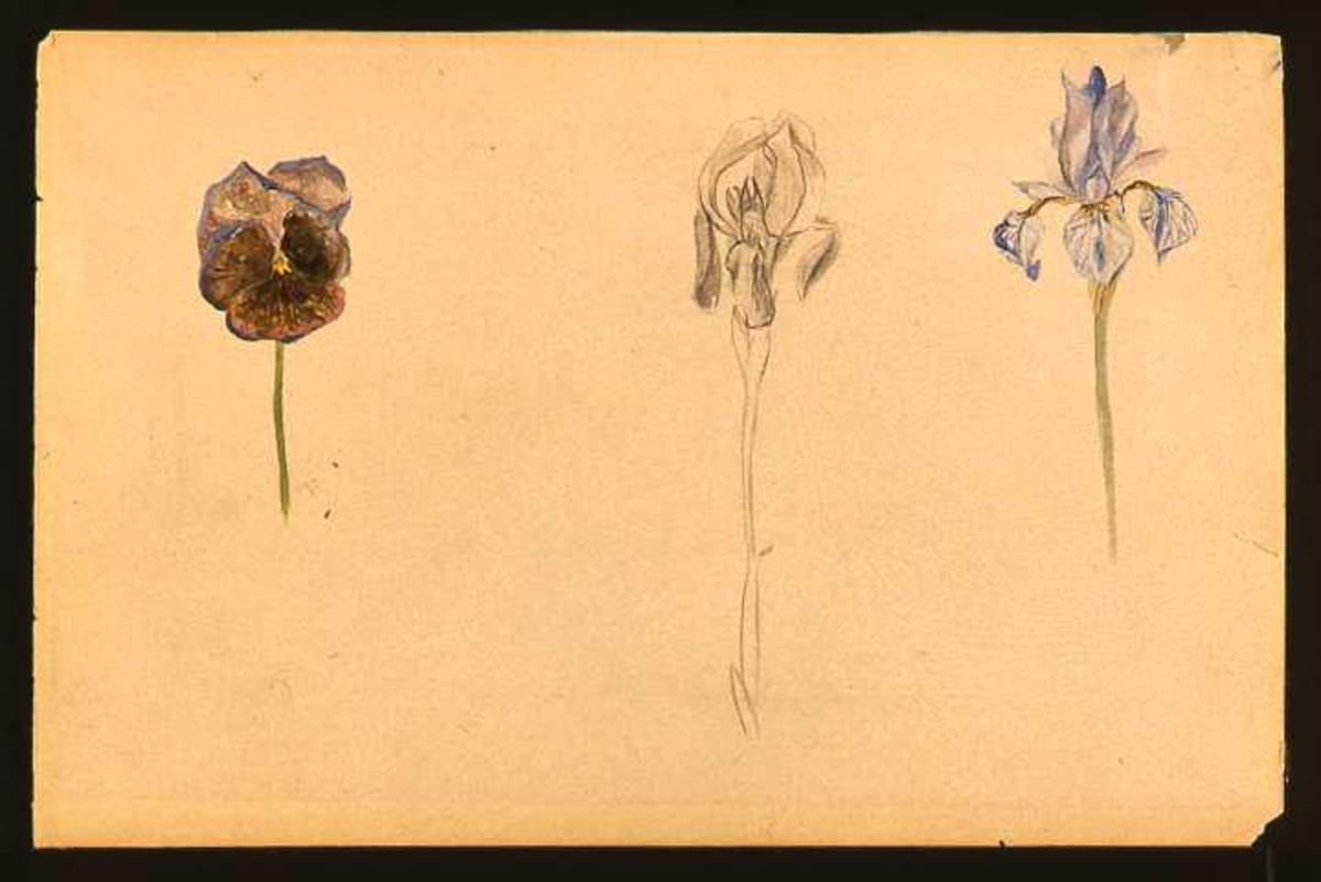 En iris og en stemorsblomst malt i akvarell og en iris tegnet med blyant.